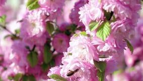 Η μέλισσα θηλάζει το νέκταρ από το άνθος βερίκοκων κλείστε επάνω κίνηση αργή απόθεμα βίντεο