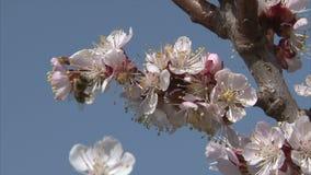 Η μέλισσα θηλάζει το νέκταρ από το άνθος βερίκοκων φιλμ μικρού μήκους
