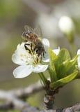 Η μέλισσα κάθεται σε ένα άσπρο λουλούδι Στοκ Εικόνες