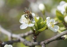 Η μέλισσα κάθεται σε ένα άσπρο λουλούδι Στοκ Φωτογραφία