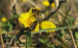Η μέλισσα και το κίτρινο λουλούδι ένα συλλέγουν το νέκταρ δεύτερος που ένας πετά Στοκ Φωτογραφία