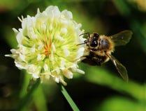 Η μέλισσα και το λουλούδι Στοκ εικόνα με δικαίωμα ελεύθερης χρήσης