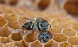 Η μέλισσα κοιτάζει στοκ φωτογραφίες