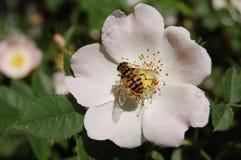 Η μέλισσα Μαΐου σε ένα λουλούδι των άγρια περιοχών αυξήθηκε Στοκ Εικόνα