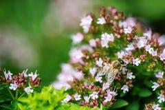 Η μέλισσα μελιού εσκαρφάλωσε σε ένα λουλούδι που συλλέγει τη γύρη, μακρο μέλισσα στο λουλούδι Στοκ εικόνα με δικαίωμα ελεύθερης χρήσης