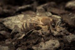 Η μέλισσα πίνει το νερό Στοκ φωτογραφία με δικαίωμα ελεύθερης χρήσης