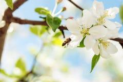 Η μέλισσα πετά στα άνθη της Apple για να συλλέξει τη γύρη Στοκ Εικόνες