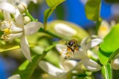 Η μέλισσα πετά στα λουλούδια του πορτοκαλιού δέντρου Στοκ Φωτογραφία