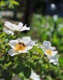 Η μέλισσα σε άγρια περιοχές αυξήθηκε Στοκ εικόνα με δικαίωμα ελεύθερης χρήσης