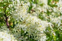 Η μέλισσα συλλέγει από μεσογειακές εγκαταστάσεις με τα όμορφα άσπρα λουλούδια στο ηλιόλουστο πρωί σε Sithonia Στοκ Φωτογραφίες