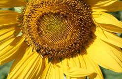 Η μέλισσα συλλέγει τη γύρη από τον κίτρινο ηλίανθο Στοκ Φωτογραφία