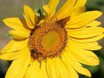 Η μέλισσα συλλέγει τη γύρη από τον κίτρινο ηλίανθο Στοκ εικόνες με δικαίωμα ελεύθερης χρήσης