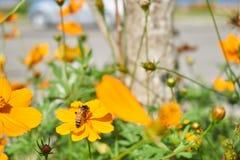 Η μέλισσα συλλέγει τη γύρη από το κίτρινο λουλούδι Στοκ εικόνα με δικαίωμα ελεύθερης χρήσης