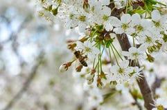 Η μέλισσα συλλέγει τη γύρη από το κεράσι Μαλακή εκλεκτική εστίαση στοκ φωτογραφία με δικαίωμα ελεύθερης χρήσης