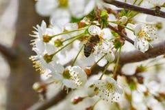 Η μέλισσα συλλέγει τη γύρη από το κεράσι στοκ φωτογραφία με δικαίωμα ελεύθερης χρήσης