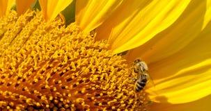 Η μέλισσα συλλέγει τη γύρη στον ηλίανθο Στοκ Εικόνα
