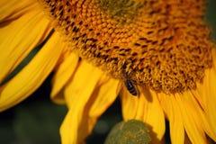 Η μέλισσα συλλέγει το μέλι στον ηλίανθο Στοκ φωτογραφίες με δικαίωμα ελεύθερης χρήσης