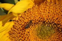 Η μέλισσα συλλέγει το μέλι στον ηλίανθο Στοκ Φωτογραφίες