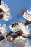 Η μέλισσα συλλέγει το νέκταρ από ένα άσπρο άνθος κερασιών ενάντια στο μπλε στοκ εικόνες