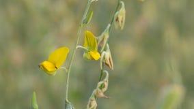 Η μέλισσα συλλέγει το νέκταρ από το λουλούδι κάνναβης Sunn απόθεμα βίντεο