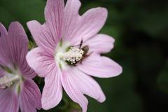 Η μέλισσα συλλέγει το νέκταρ από το λουλούδι Στοκ Φωτογραφία