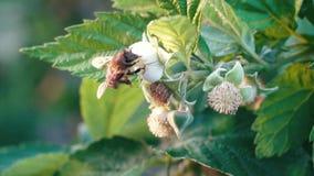 Η μέλισσα συλλέγει το νέκταρ σε ένα λουλούδι σμέουρων φιλμ μικρού μήκους