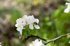 Η μέλισσα συλλέγει το νέκταρ στα λουλούδια ενός Apple-δέντρου Στοκ Φωτογραφίες