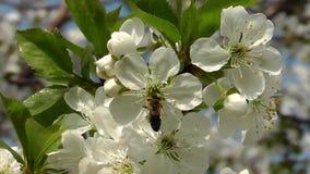 Η μέλισσα συλλέγει το νέκταρ στο κεράσι απόθεμα βίντεο