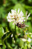 Η μέλισσα συλλέγει το νέκταρ στο τριφύλλι, άσπρο τριφύλλι, λουλούδια, πράσινη χλόη Στοκ Εικόνες