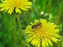 η μέλισσα συλλέγει το νέκταρ Στοκ Φωτογραφίες