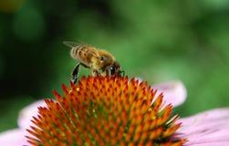 η μέλισσα συλλέγει το νέκταρ Στοκ εικόνες με δικαίωμα ελεύθερης χρήσης