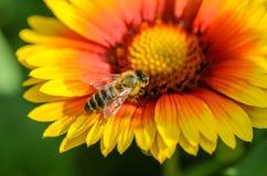 η μέλισσα συλλέγει το νέκ Στοκ Φωτογραφίες