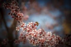 Η μέλισσα Στοκ Φωτογραφίες