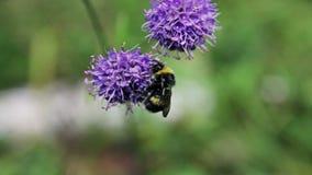 Η μέλισσα Bumble συλλέγει το νέκταρ στα λουλούδια απόθεμα βίντεο