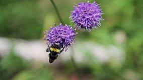 Η μέλισσα Bumble συλλέγει το νέκταρ στα λουλούδια φιλμ μικρού μήκους