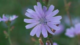 Η μακροεντολή, λίγο βρύο συλλέγει το νέκταρ από το λουλούδι τομέων στο λιβάδι απόθεμα βίντεο