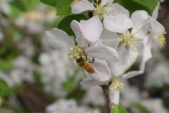 Η μακροεντολή μελισσών μελιού στην άνοιξη, άσπρα λουλούδια ανθών μήλων κλείνει επάνω, η μέλισσα συλλέγει τη γύρη και το νέκταρ Οφ Στοκ φωτογραφίες με δικαίωμα ελεύθερης χρήσης