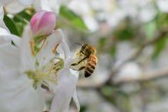 Η μακροεντολή μελισσών μελιού στην άνοιξη, άσπρα λουλούδια ανθών μήλων κλείνει επάνω, η μέλισσα συλλέγει τη γύρη και το νέκταρ Οφ στοκ φωτογραφίες