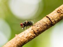 Η μακροεντολή κινηματογραφήσεων σε πρώτο πλάνο της πράσινης μύγας ή greenbottle η μύγα στον κλάδο που τρώει τα τρόφιμα από το σάλ Στοκ φωτογραφία με δικαίωμα ελεύθερης χρήσης