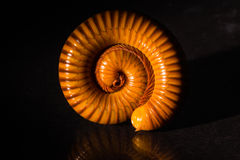 Η μακροεντολή πορτοκαλί και καφετί millipede στο γυαλί με την αντανάκλαση, Millipede κουλουρίασε, αποσαφήνιση στοκ εικόνα με δικαίωμα ελεύθερης χρήσης
