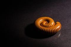 Η μακροεντολή πορτοκαλί και καφετί millipede στο γυαλί με την αντανάκλαση, Millipede κουλουρίασε, αποσαφήνιση στοκ εικόνα