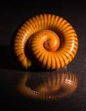 Η μακροεντολή πορτοκαλί και καφετί millipede στο γυαλί με την αντανάκλαση, Millipede κουλουρίασε, αποσαφήνιση στοκ εικόνες
