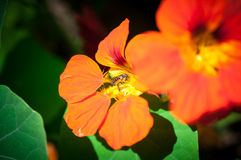 Η μακροεντολή της μέλισσας μελιού με το πορτοκαλί λουλούδι στο δάσος, η εικόνα της στενής επάνω μέλισσας μελιού και το πορτοκάλι  Στοκ Εικόνες