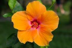 Η μακροεντολή της πορτοκαλιάς Κίνας αυξήθηκε λουλούδι hibiscus Στοκ φωτογραφία με δικαίωμα ελεύθερης χρήσης