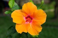 Η μακροεντολή της πορτοκαλιάς Κίνας αυξήθηκε λουλούδι hibiscus Στοκ Εικόνα