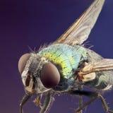Η μακροεντολή του φωτεινού πράσινου χρωμάτισε τη μύγα Στοκ εικόνες με δικαίωμα ελεύθερης χρήσης