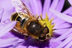 Η μακρο άποψη της κορυφής των καυκάσιων μεγάλων χνουδωτών μυγών λουλουδιών είναι χ Στοκ Εικόνα
