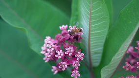 Η μακρο μέλισσα συλλέγει το νέκταρ από τα ρόδινα λουλούδια απόθεμα βίντεο