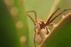 Η μακρο φωτογραφία με την αράχνη που προστατεύει την αράχνη agrestis αυγών του/αραχνών/Tegenaria Hobo aloe Βέρα φεύγει Στοκ φωτογραφίες με δικαίωμα ελεύθερης χρήσης