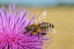 Η μακρο φωτογραφία, μια μέλισσα συλλέγει το νέκταρ σε ένα λουλούδι Carduus ενός κάρδου Στοκ Εικόνες